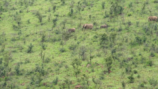 WS HA African elephants walking down grassy hill / Pilanesberg National Park/ North West Province/ South Africa