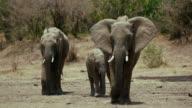 African Elephants Walking Maasai Mara  Kenya  Africa
