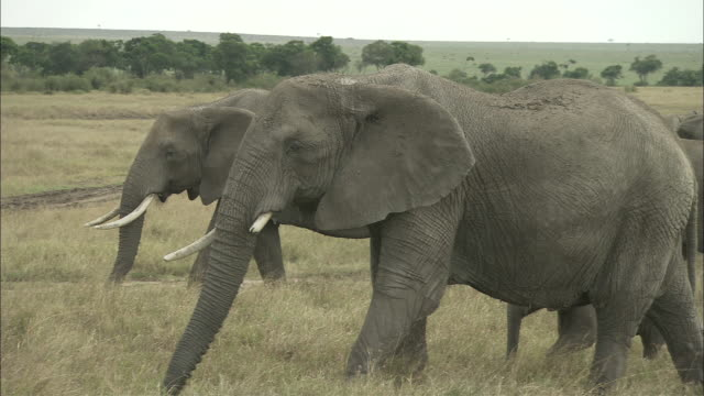 MS, African Elephants walking through grasslands, Masai Mara National Reserve, Kenya, Africa