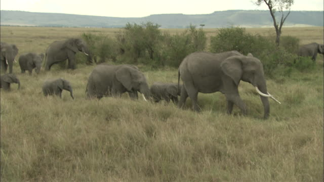 MS, TS, African Elephants walking through grasslands, Masai Mara National Reserve, Kenya, Africa