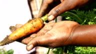 African female farmer harvesting carrots, KwaZulu Natal, South Africa