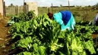 African female farmer harvesting on farm, KwaZulu Natal, South Africa