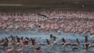 African Fish Eagle flies to camera over Lesser Flamingo flock running away