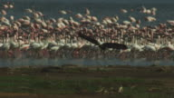 SLOMO African Fish Eagle lands with massed flamingoes in background in heat haze at Lake Bogoria