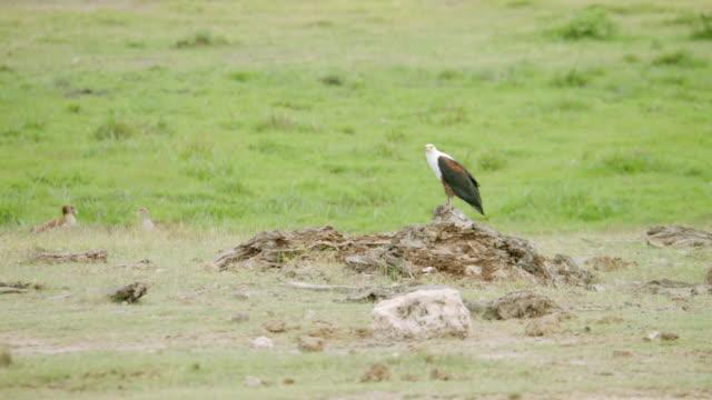 MS African Fish Eagle preening on rock / Kenya