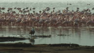 African Fish Eagle stands on shore with massed flamingoes in background