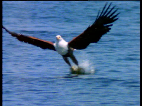 African fish eagle swoops down and takes fish from lake, Zimbabwe