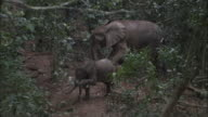 African forest elephant (L.a.cyclotis) and calf in forest, Central African Republic