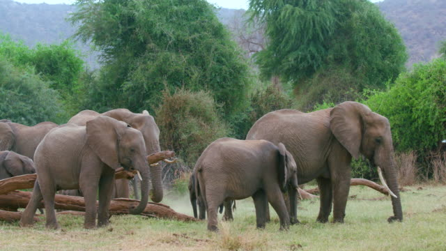African Forest Elephants Grazing Samburu  Kenya  Africa