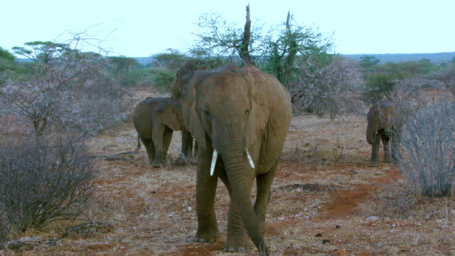 African Forest Elephants Grazing & Walking Samburu  Kenya  Africa