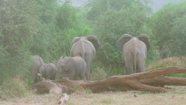 African Forest Elephants Shelter From Wind & Dust Samburu  Kenya  Africa