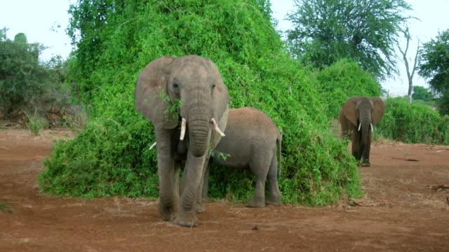 African Forest Elephants Walking Samburu  Kenya  Africa