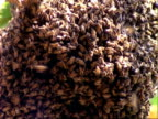 African Honey Bee, WA swarm of bees, Panama, Central America