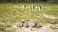 African landscape. Wild rhino resting on savannah