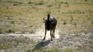 African landscape. Wild wildebeest running on savannah