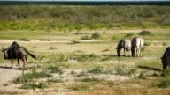 African landscape. Wild wildebeest walking on savannah