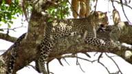 African Leopard in tree - Serengeti National Park / Tanzania