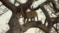 WS TS African leopard (Panthera pardus pardus) jumping on tree branches in Kruger National Park / Mpumalanga Province, South Africa