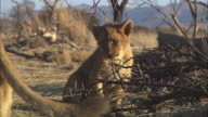 MS African lion cub chewing at dead tree with second cub and lioness walking through foreground
