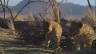 MS African lion cub chewing at gazelle skull by dead tree and lioness walking through foreground