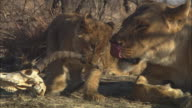 CU African lion cub chews on gazelle skull with lioness grooming then PAN as it walks away with skull