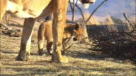 MS African lion cub drags gazelle skull with lioness walking through foreground