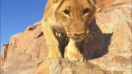 LA African lion cub nervously climbs down rock face very close to camera