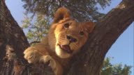 LA CU African lion cub resting in tree in evening light