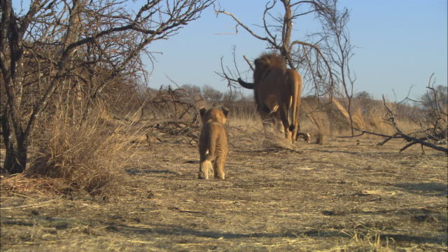 African lion cub watches male lion walk away with Water Buffalo skull  in his jaws ZI to MS