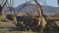 MS 2 African lion cubs chewing at gazelle skull by dead tree and lioness walking through foreground
