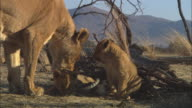 MS 2 African lion cubs chewing at gazelle skull by dead tree and lioness enters and greets