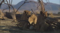 MS 2 African lion cubs chewing at gazelle skull by dead tree and lioness walking through foreground PAN with cub as it walks to her then CU lioness sniffing Water Buffalo skull