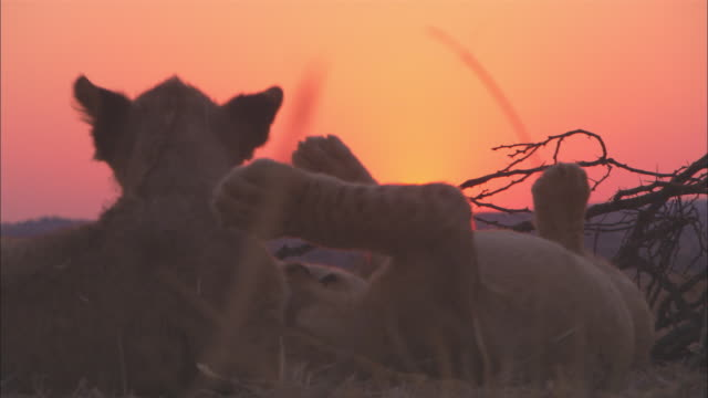 CU 2 African lion cubs play fight very close to camera with sunset in background