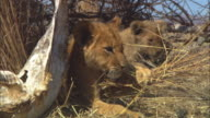 CU 2 African lion cubs playing in dry grass next to skull