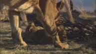 MS 2 African lion cubs playing with gazelle skull by dead tree and lioness walking through foreground