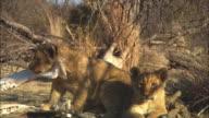 MS 2 African lion cubs sitting amongst bones on grassland