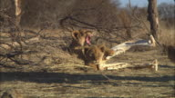 MS 2 African lion cubs sitting amongst bones on grassland PAN with one at it walks over to dead tree trunk
