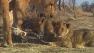 CU 2 African lion cubs with lioness chew on gazelle skull
