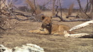 MS African lion lying on dry grassland with skulls and trees