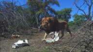 African lion walks through bare ground with skulls