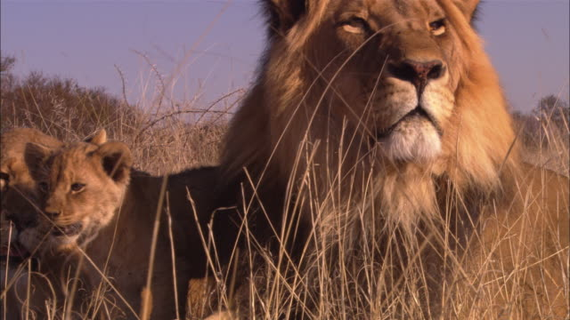 African lion with lioness and 2 cubs in long grass looking to camera
