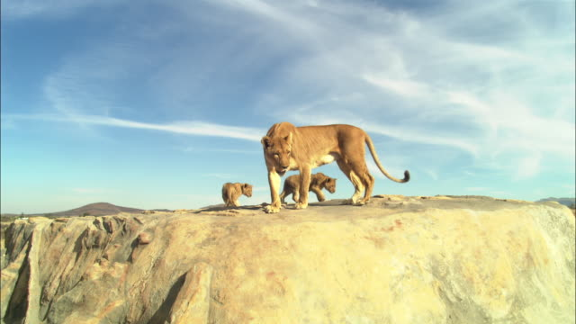 LA African lioness and 2 cubs explore the top of a rocky outcrop then walks away