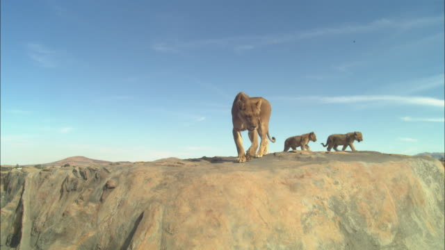 LA African lioness and 2 cubs explore the top of a rocky outcrop