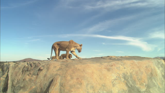 WS African lioness and 2 cubs on rocky outcrop looking over edge and walking around