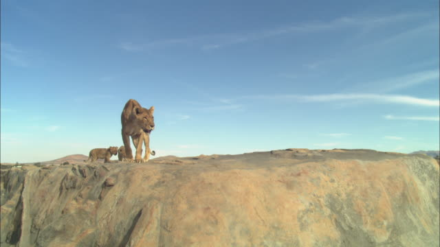 WS African lioness and 2 cubs on rocky outcrop looking over edge in profile and walking around