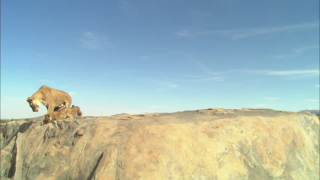 WS African lioness and 2 cubs on rocky outcrop looking over edge in profile