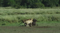 WS African lioness and large cub drag Wildebeest carcase away from camera into long grass