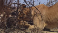CU African lioness drags cub out of dead tree and licks it