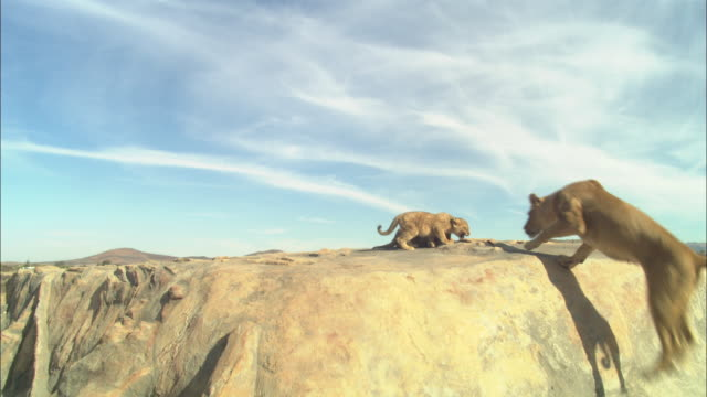 African lioness jumps up onto rocky outcrop to join 2 cubs and looks around