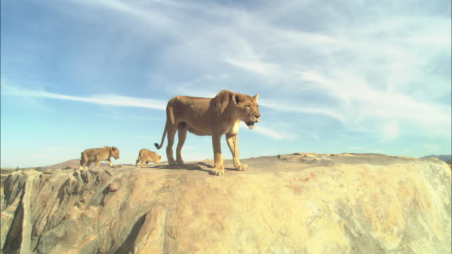African lioness looks around rocky outcrop and jumps down leaving 2 cubs in background